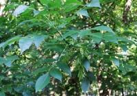 Ясень высокий или обыкновенный