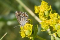 Голубянка быстрая на цветах молочая