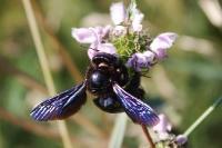 Пчела-плотник фиолетовая крупным планом