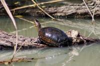 Болотная черепаха в загрязненной Сугоклее