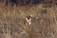 Лисица обыкновенная или рыжая