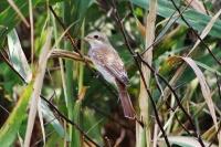 Жулан - молодая птица