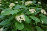 Свидина южная во время цветения