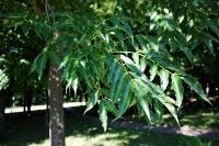 Бархат амурский - листья