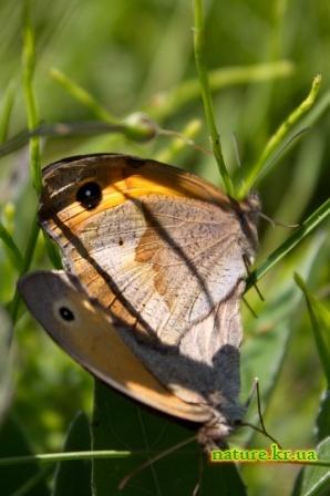 Бархатница волоокая - самец и самка
