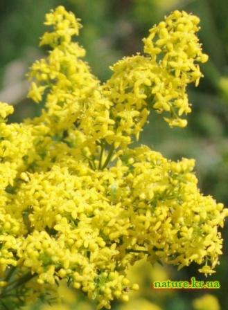 Подмаренник желтый - макро