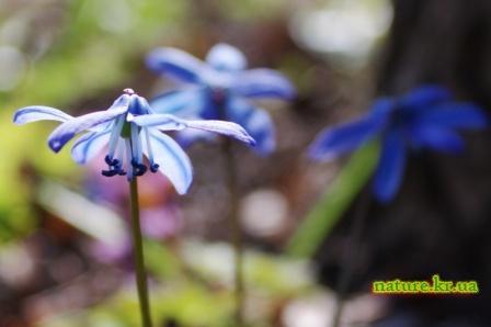 Пролеска сибирская (Scilla siberica) - цветок