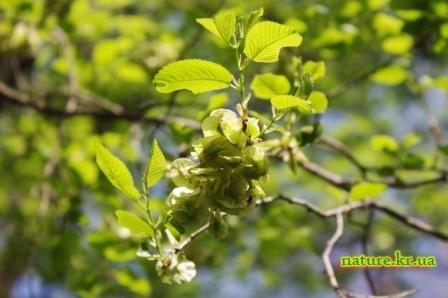 Вяз малый - зеленые плоды