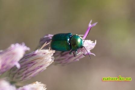 Скрытоглав зелёный