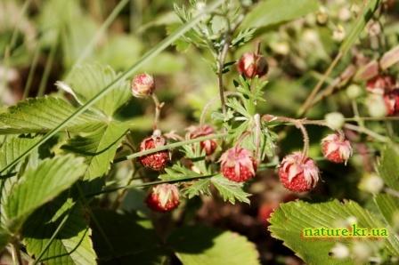 Земляника лесная - спелые ягоды
