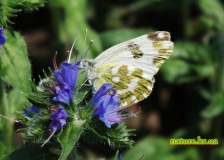 Белянка рапсовая (Pontia daplidice LINNAEUS)