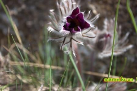 Сон-трава - цветок