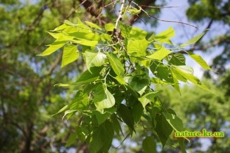 Каркас западный - ветка с зелеными плодами