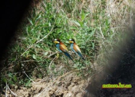 Золотистая щурка - самец и самка