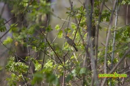 Славка черноголовая - самка