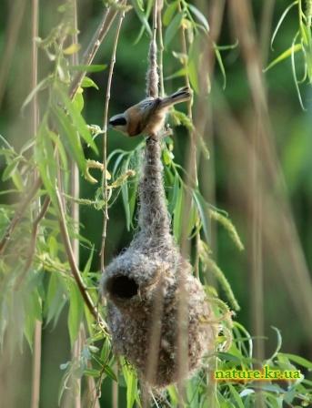 Ремез вьет свое гнездо