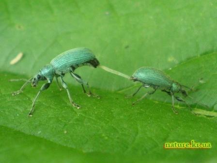 Спаривание зеленый листовых слоников