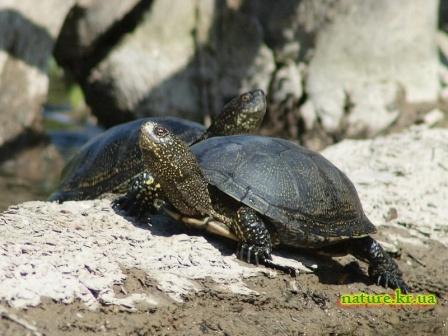 Пара болотных черепах греется на солнце