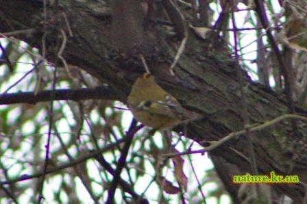 Королек желтоголовый - вид со спины