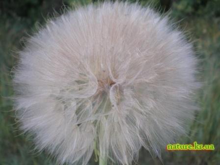 Отцвевший цветок Козлобородника