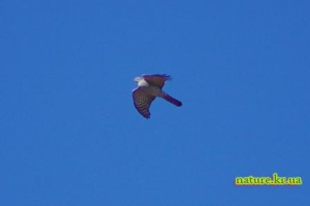 Ястреб-перепелятник в полете