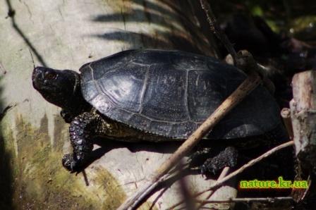 Черепаха европейская болотная
