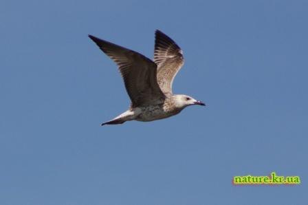 Озерная чайка - молодая птица