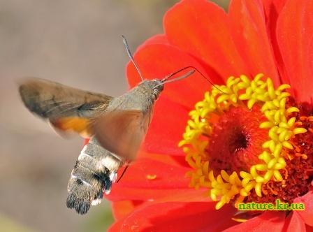 Языкан обыкновенный у цветка