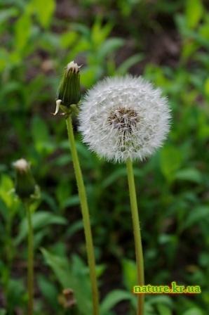 Одуванчик лекарственный - созревшие семена