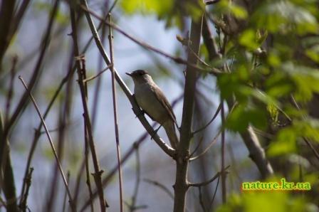 Славка черноголовая - самец