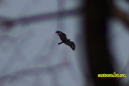 Мохноногий канюк или зимняк