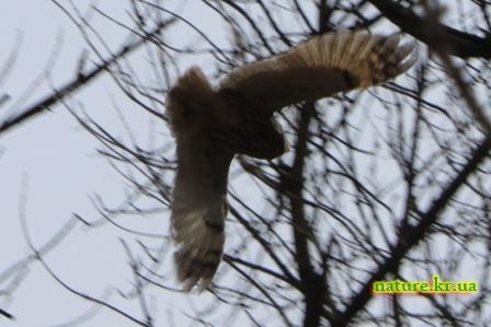 Ушастая сова в полете