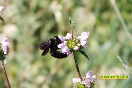 Пчела-плотник фиолетовая - вид сбоку