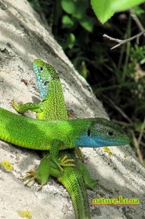 Зеленые ящерицы