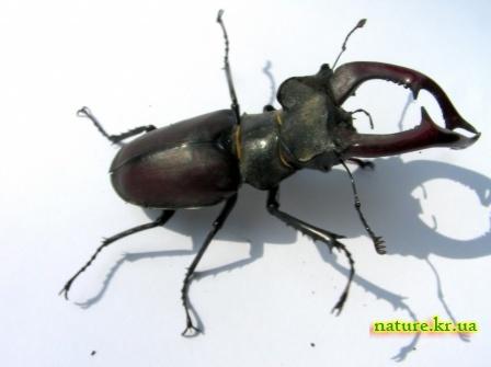 Самец жука-оленя