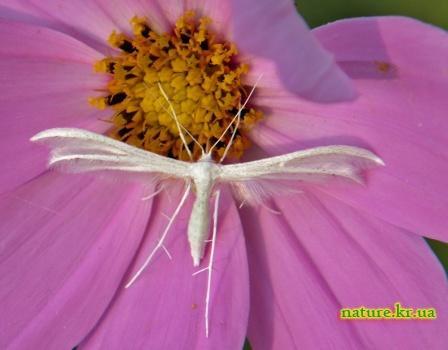 Пальцекрылка белоснежная